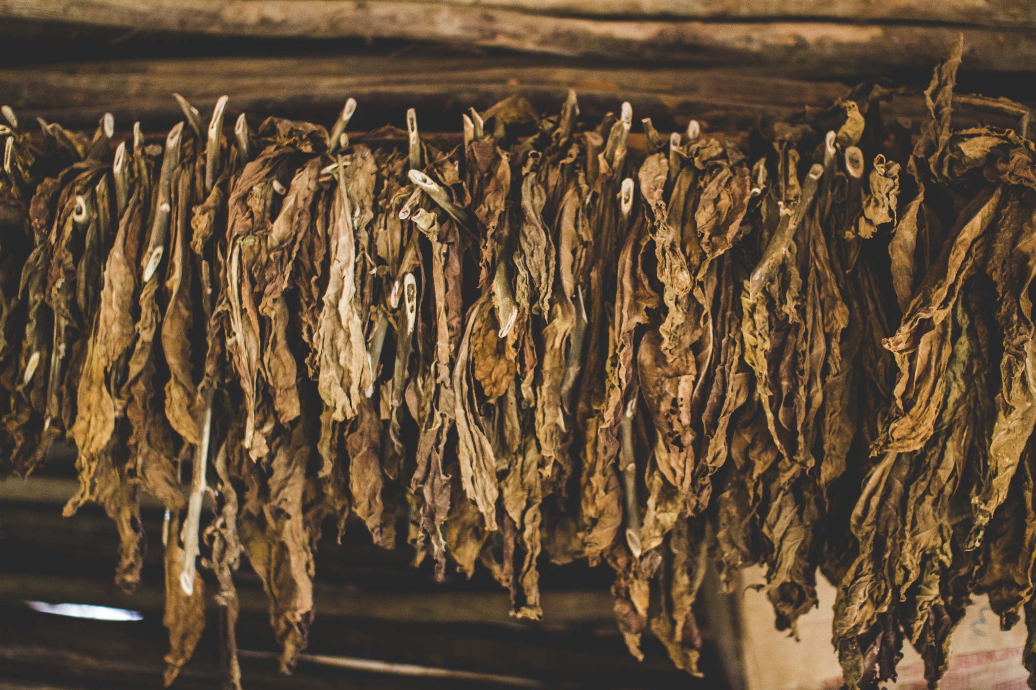 Tobacco leaves being dried at a farm in Viñales, Cuba. Here is where they process the leaves from being picked before heading to the factories to be rolled, into either cigars or cigarettes.