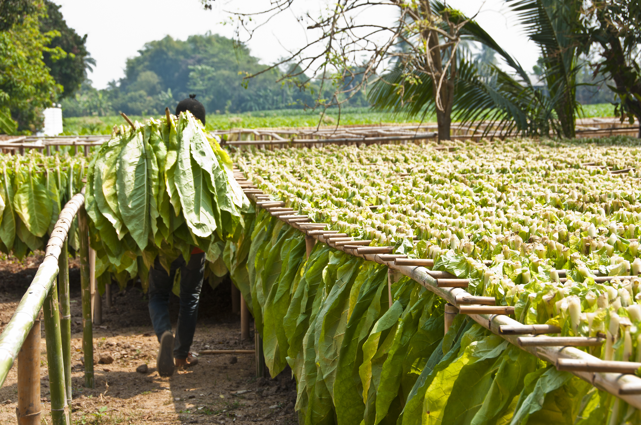 Drying Tobacco Leaf